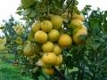 bergamotto-pianta